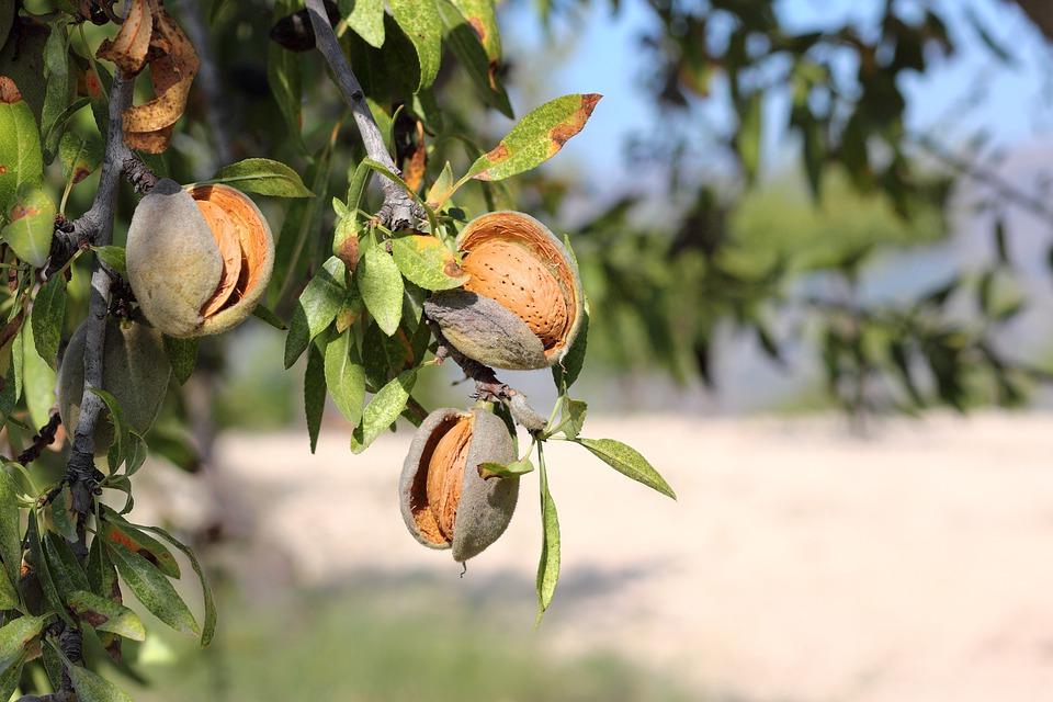 plody mandlí
